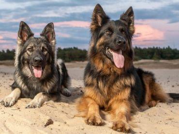 German_Shepherd_4923878