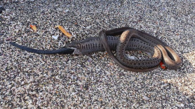 A Western Galapagos Racer (Pseudalsophis occidentalis) exhibits cannibalistic behavior on Fernandina Island of the Galapagos Islands. (Luis Ortiz-Catedral/Zenger)